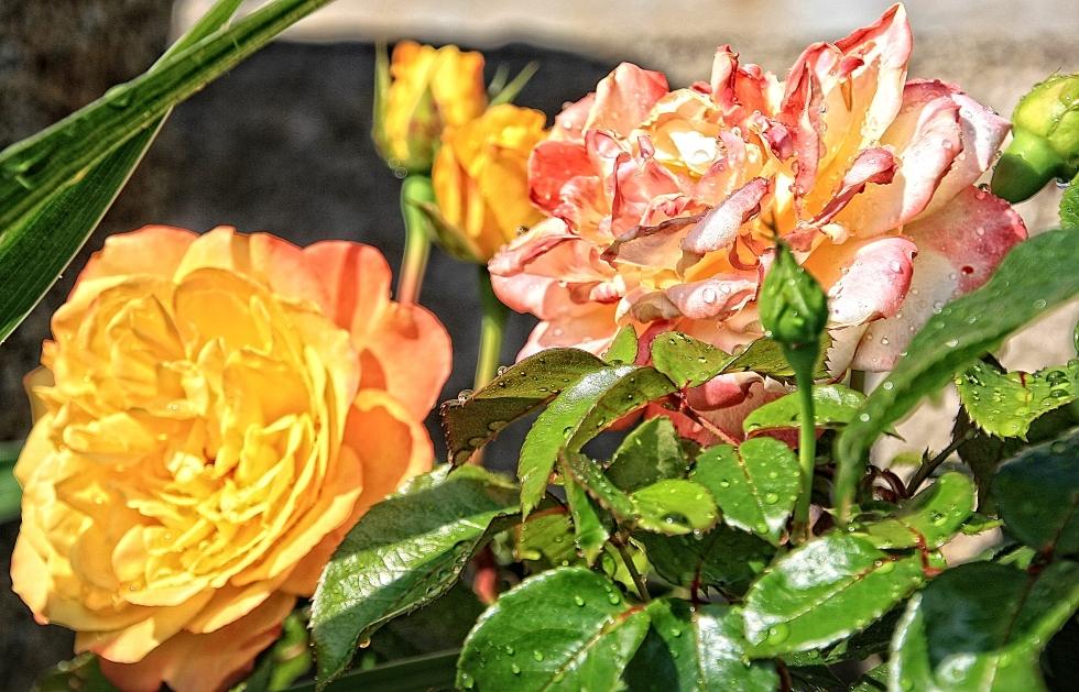 Rosen aus Tirol