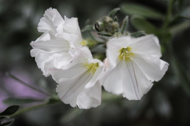 Convolvulus cneorum