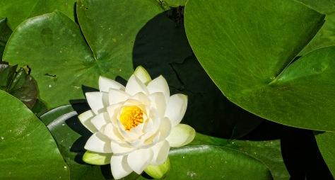 weiße Seerose 1