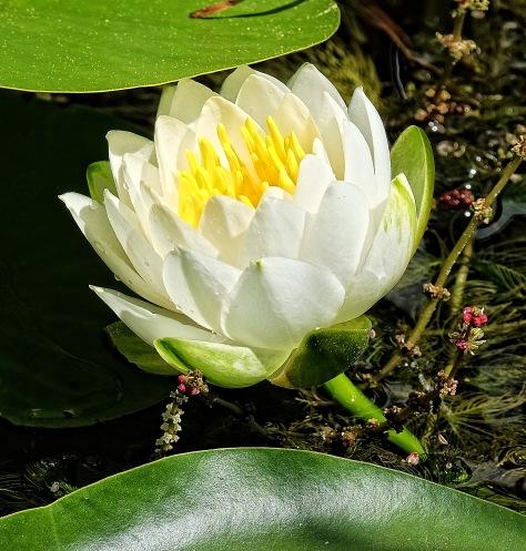 weiße Seerose 2
