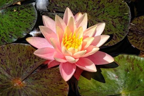 rosa Seerose 1