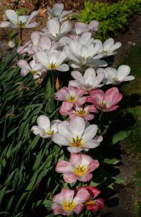 Tulpenschwarm1