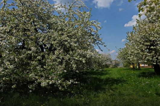 Kirschgärten 1 1